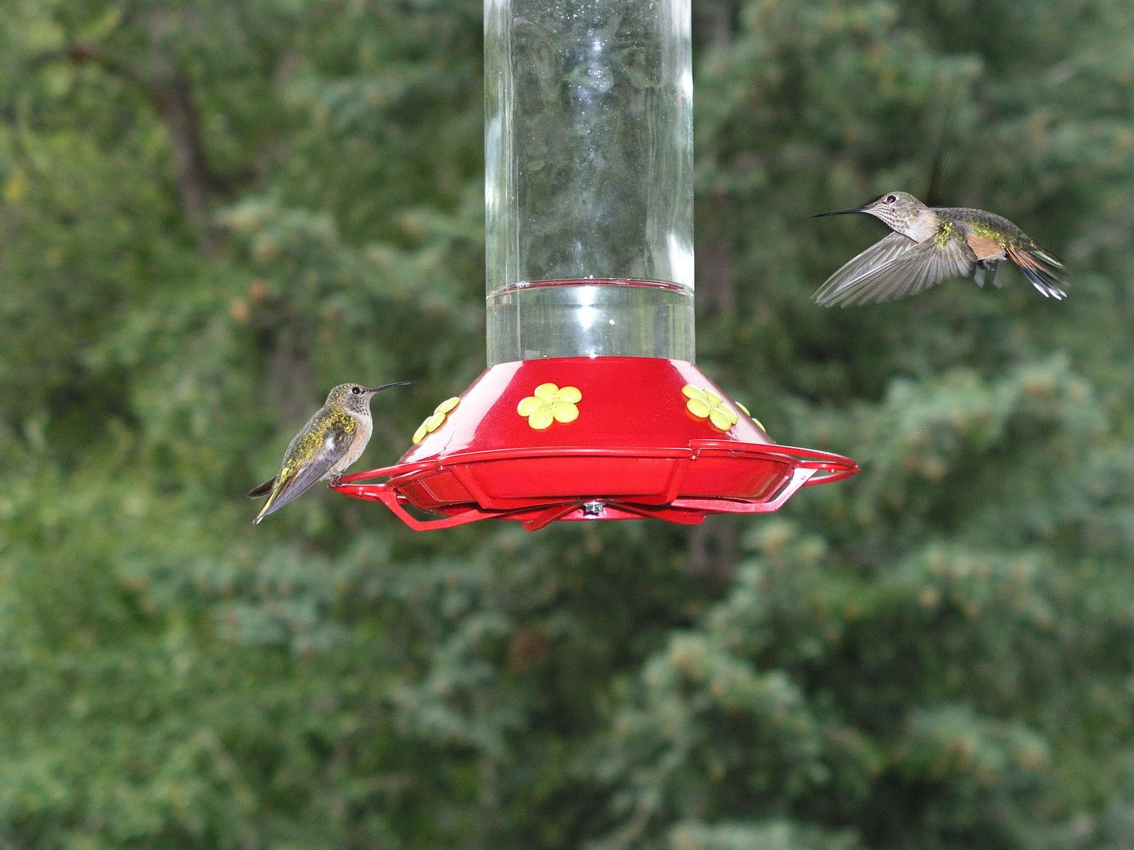 Free Hummingbirds 1 Stock Photo Freeimages Com