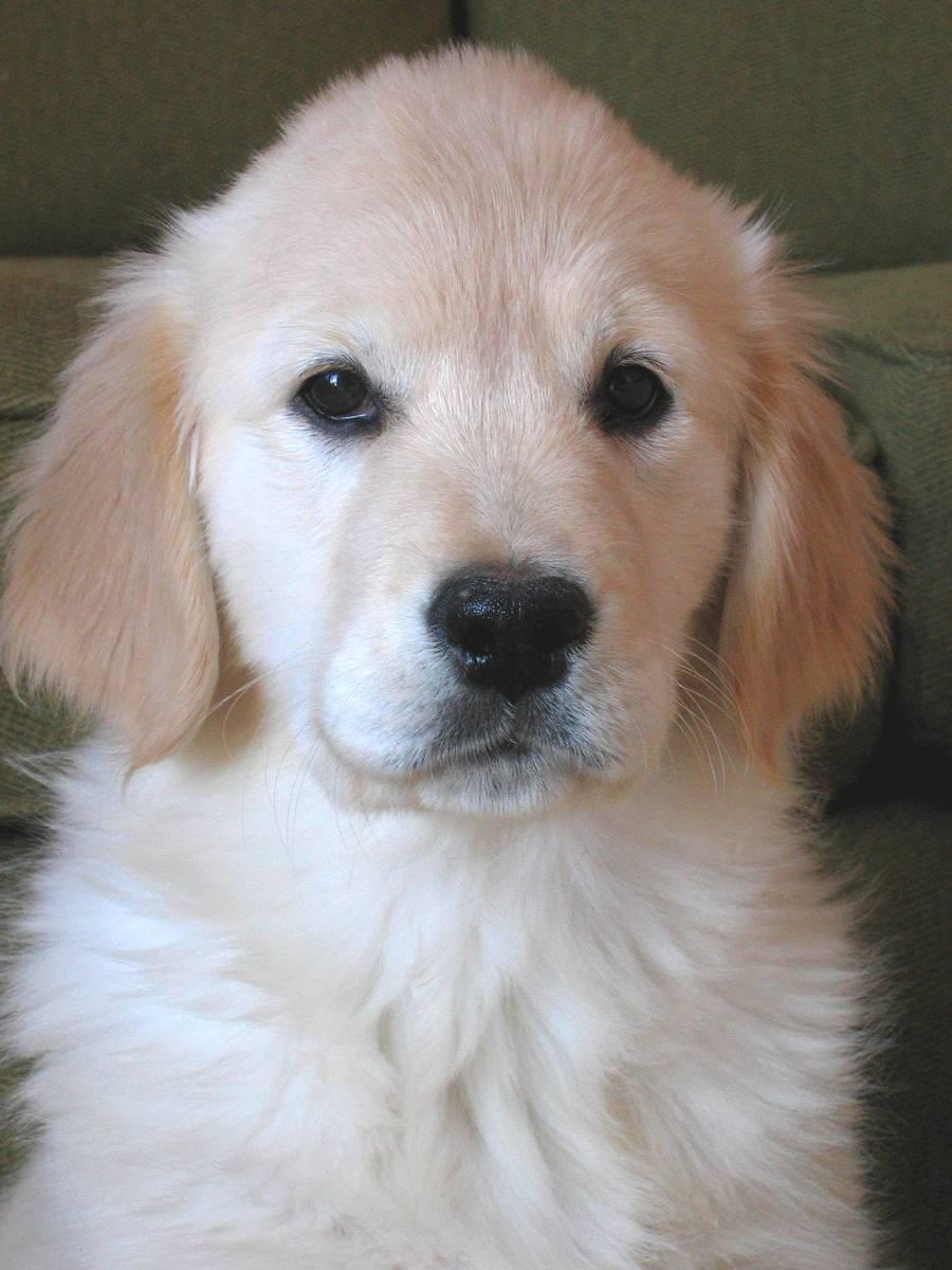 Free Golden Retriever Puppy 1 Stock Photo Freeimages Com