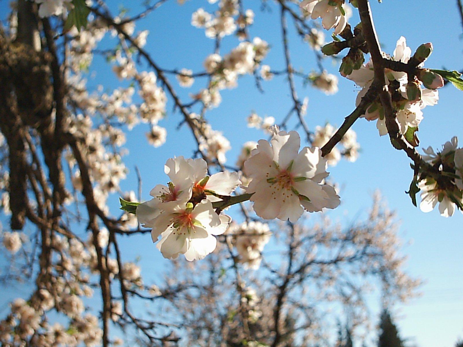 Almond-tree Flower 1