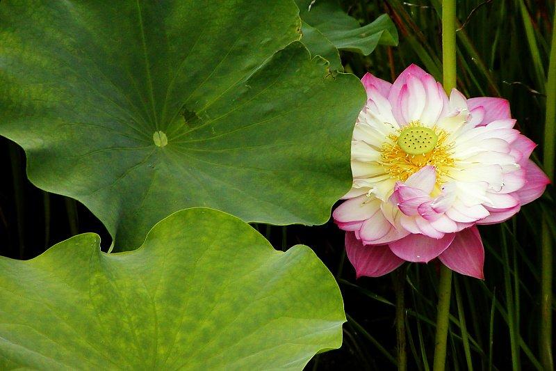 lotus47