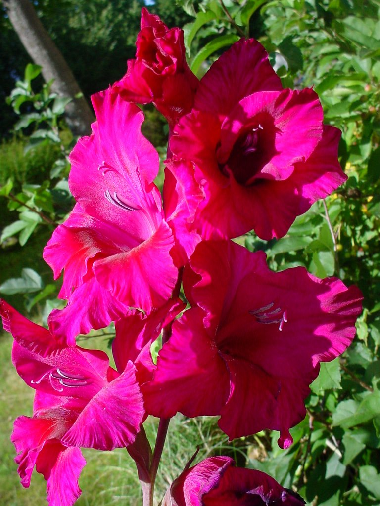 Free Gladiolus Stock Photo Freeimages Com