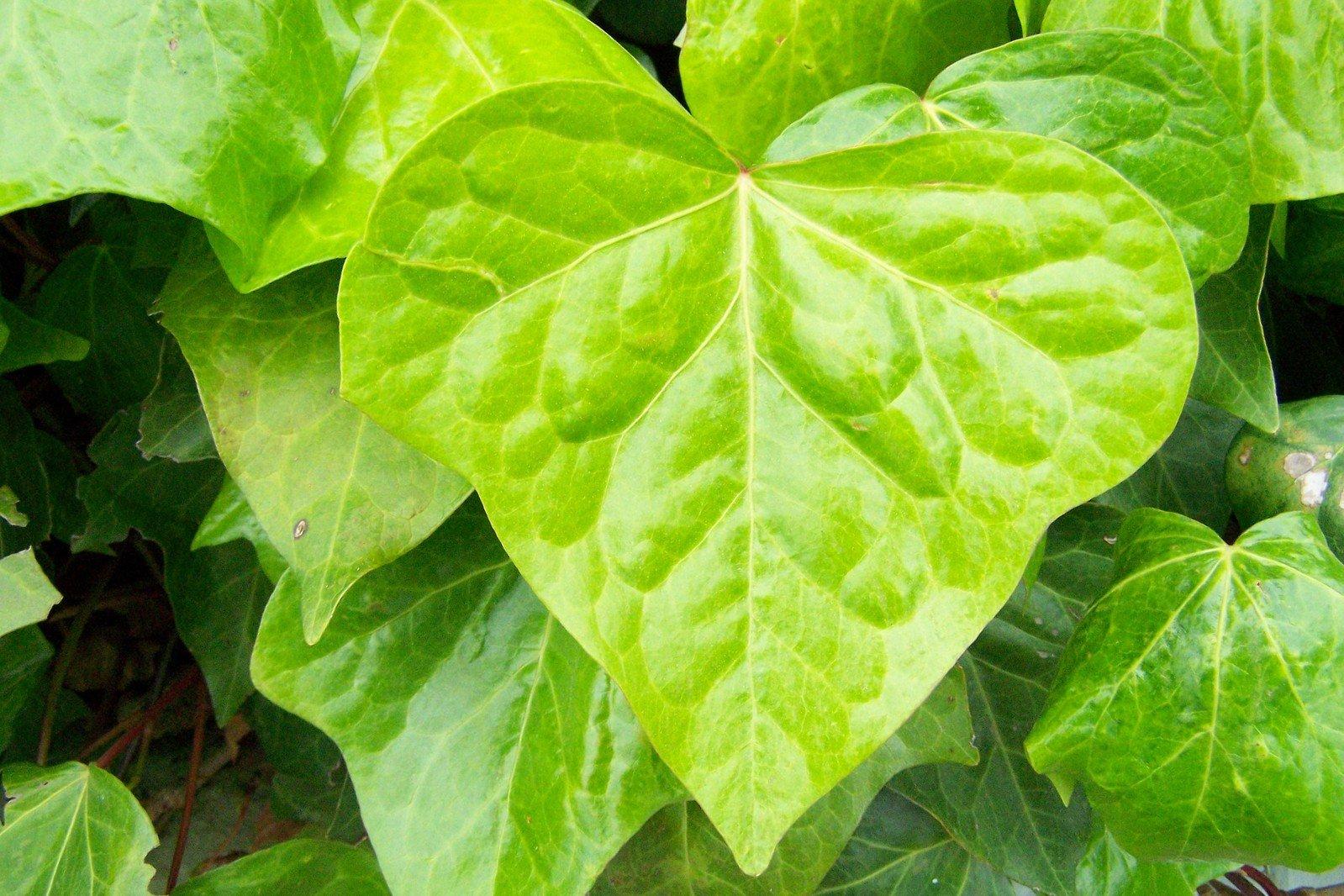 Цветы с листьями в форме сердца фото