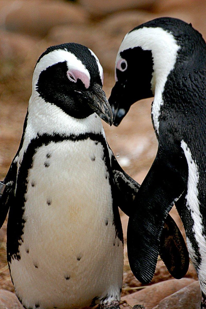 Free Penguin Love Stock Photo - FreeImages.com