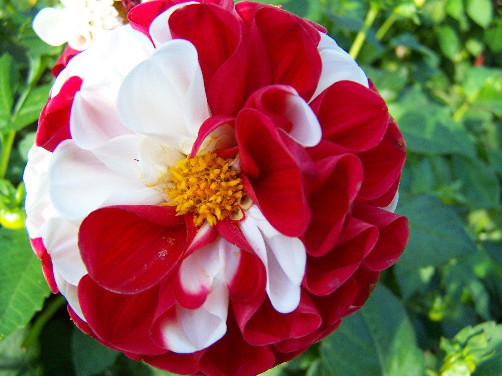 Free Flores Rojas Y Blancas Stock Photo Freeimages Com