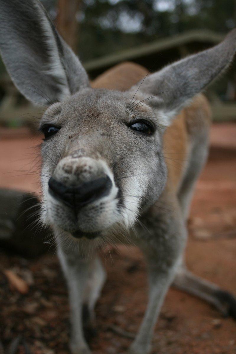 Free Kangaroo Stock Photo - FreeImages.com