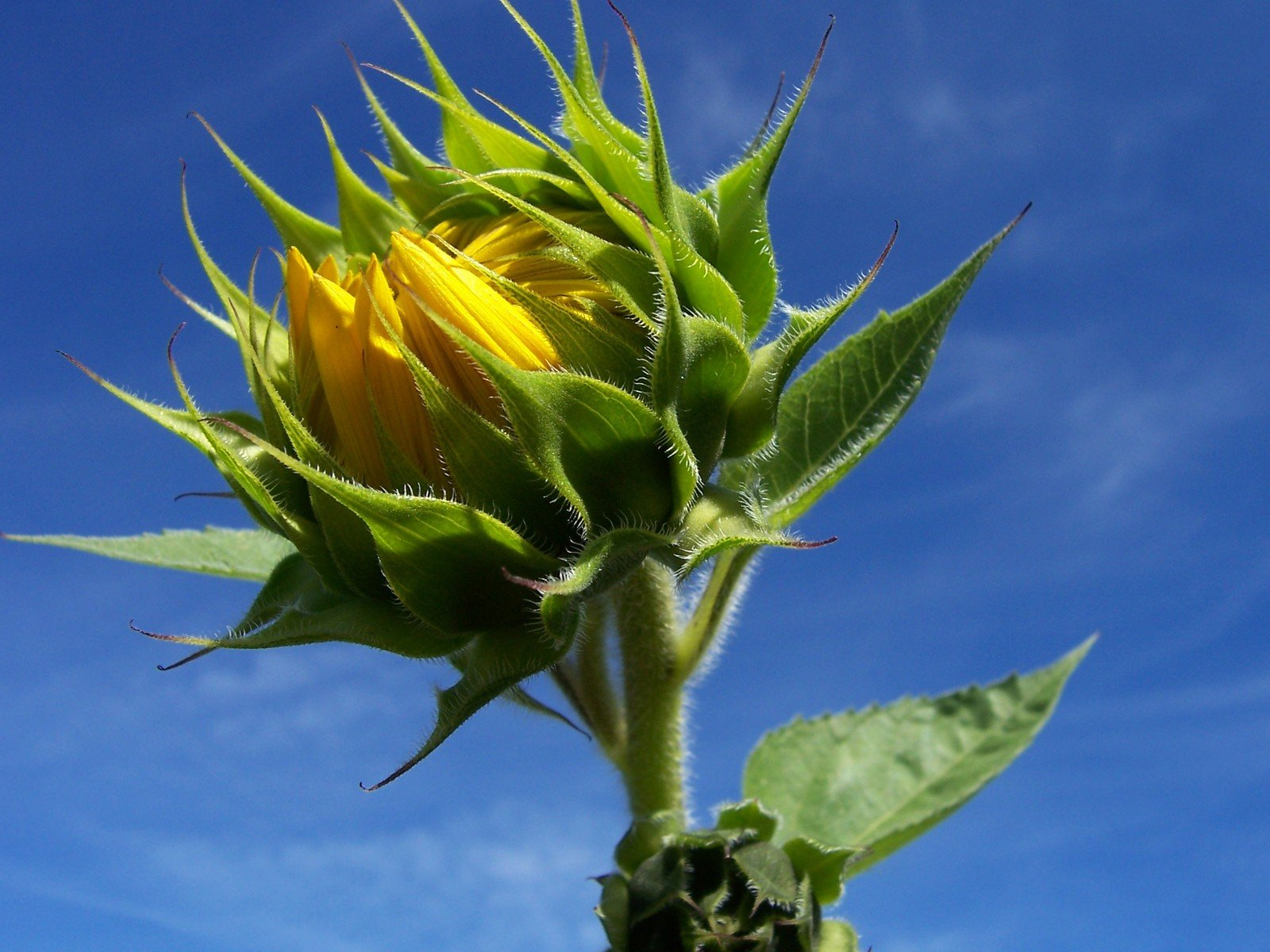 Sunflower Bud About to Bloom Picture | Free Photograph ...  |Sunflower Bud