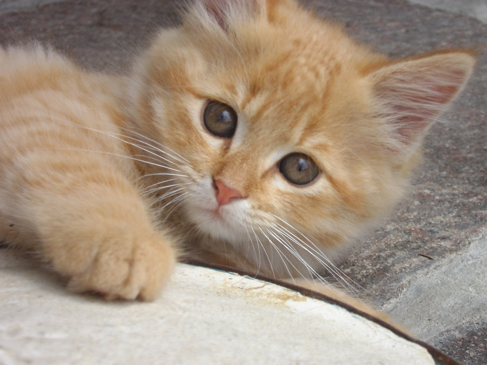 Free cat images pictures and royalty free stock photos sweet cats 2 voltagebd Images