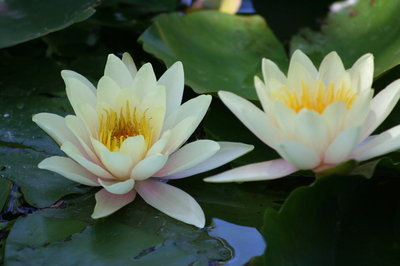 Free Yellow Water Lily 2 Stock Photo Freeimages Com