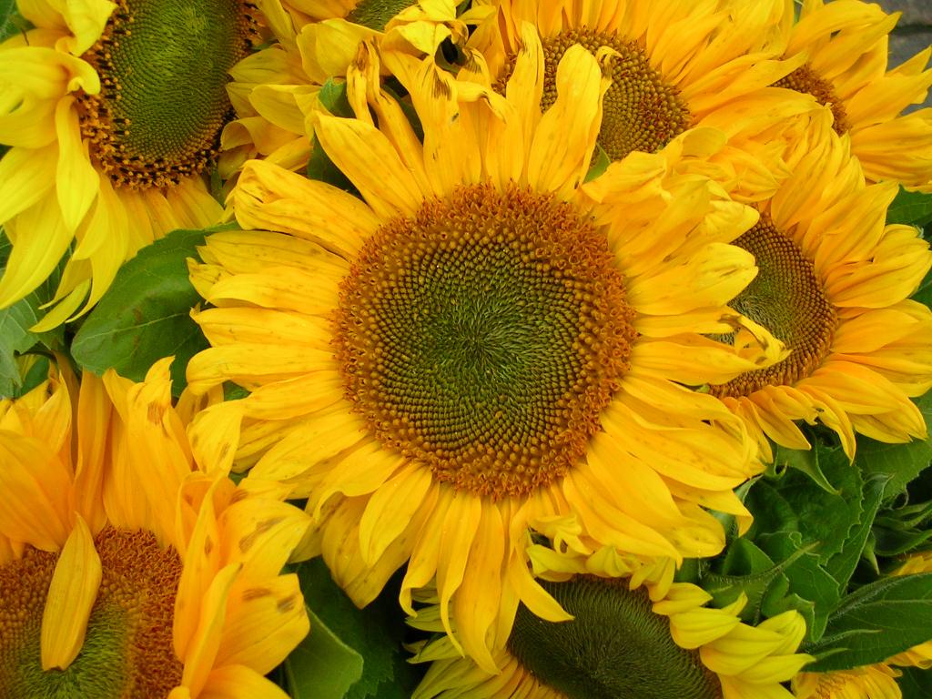 Free sunflowers Stock Photo - FreeImages.com