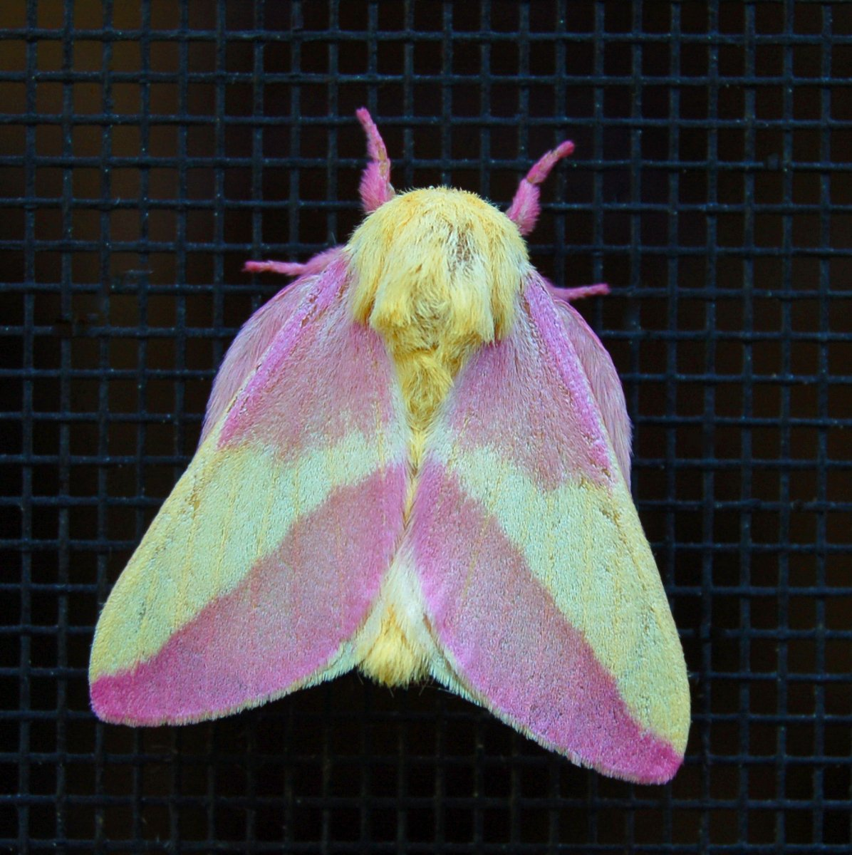 Free Rosy Maple Moth Stock Photo - FreeImages.com - photo#14