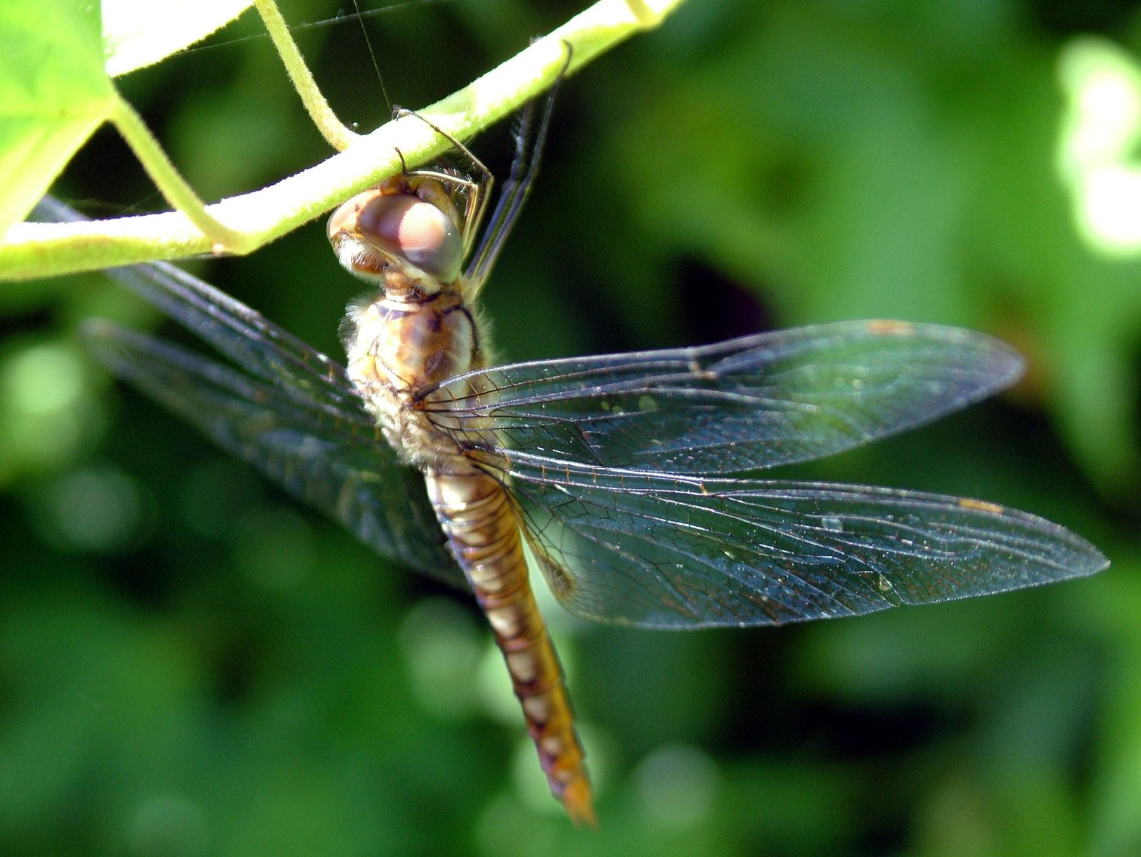 Free Dragonfly Sleeping 2 Stock Photo - FreeImages.com