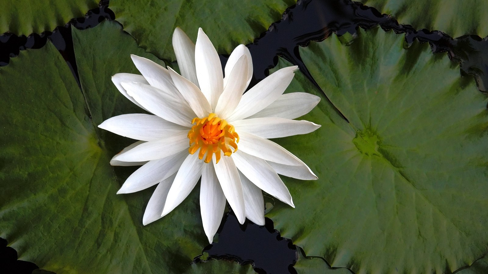 Free lotus flower stock photo freeimages free lotus flower stock photo mightylinksfo