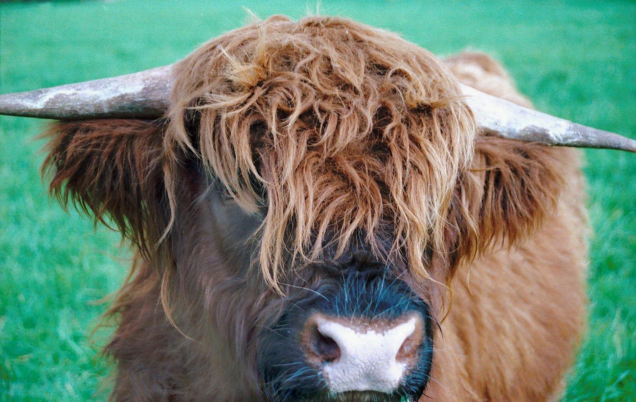 Resultado de imagen para Toro West Highland,