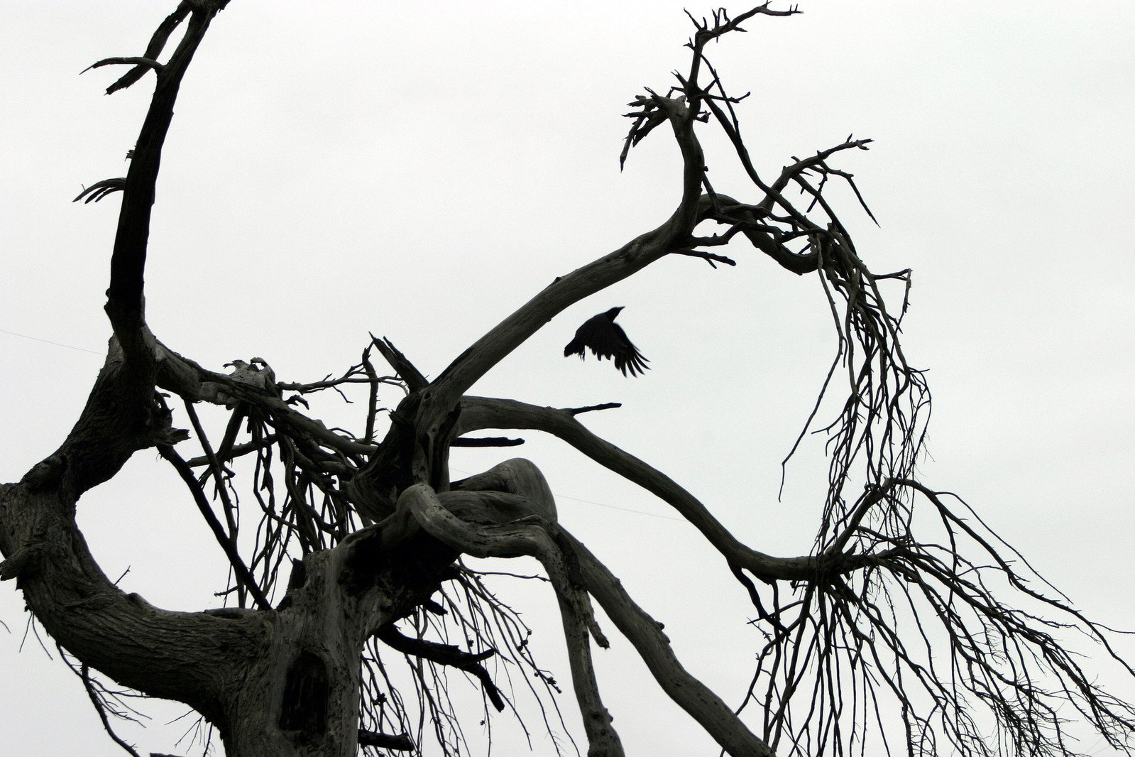 free flying raven dead tree stock photo  freeimages