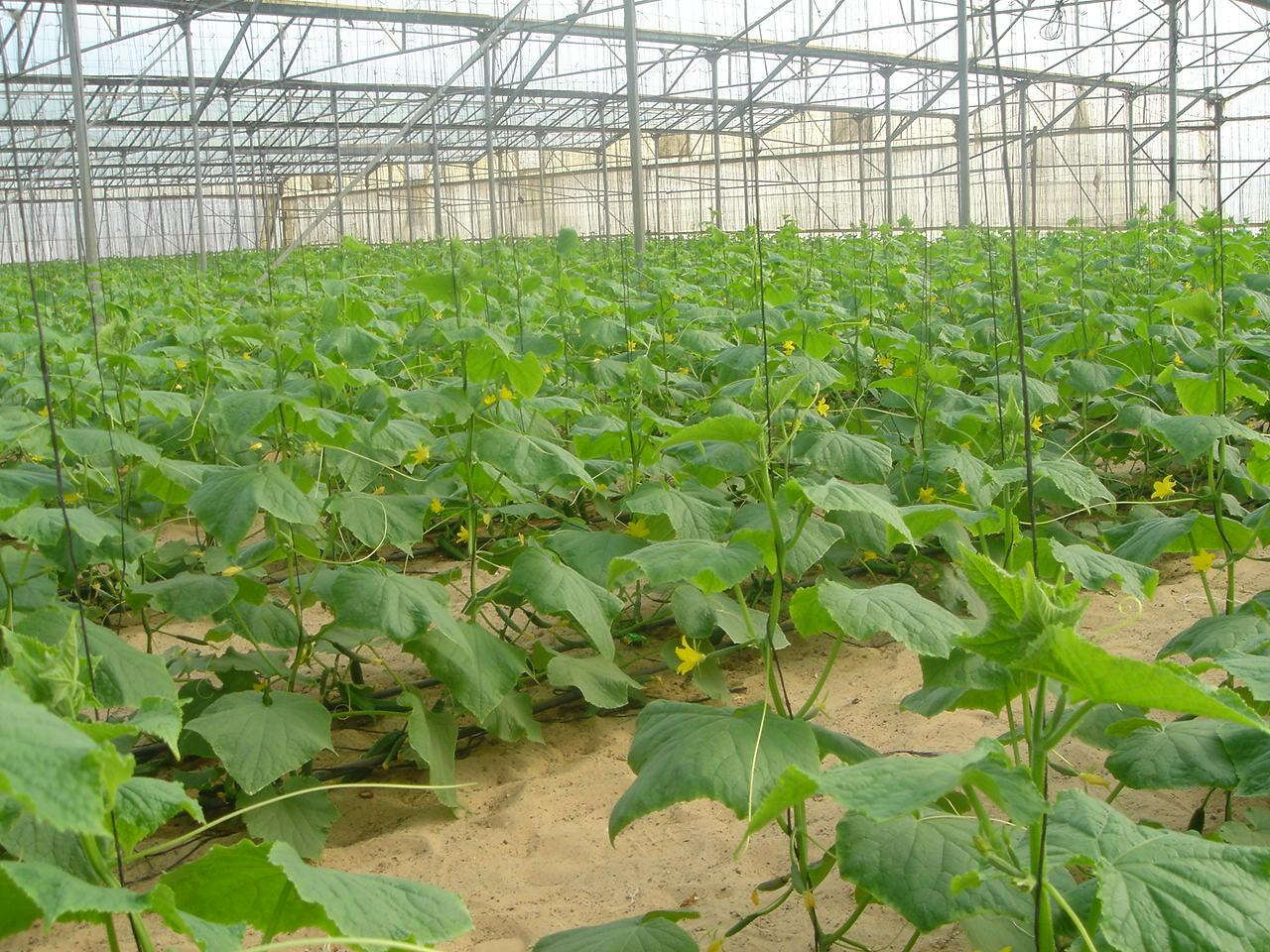 Пошаговое выращивание огурцов в открытом грунте
