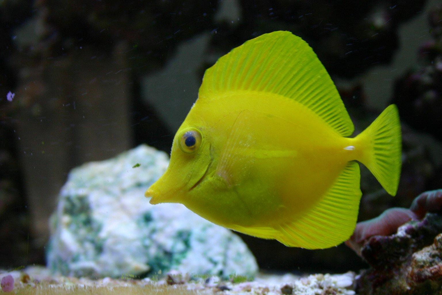 Free yellow tang stock photo for Yellow tang fish