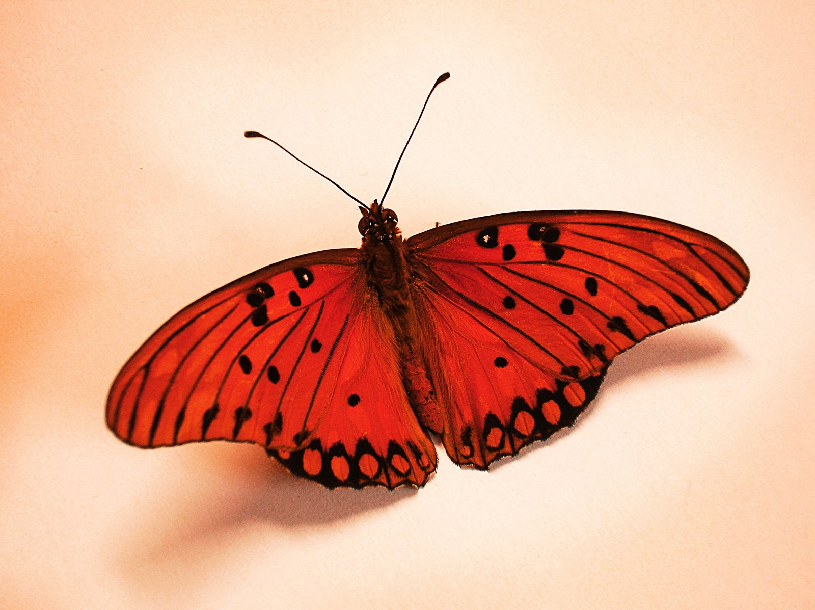 free red butterfly stock photo. Black Bedroom Furniture Sets. Home Design Ideas
