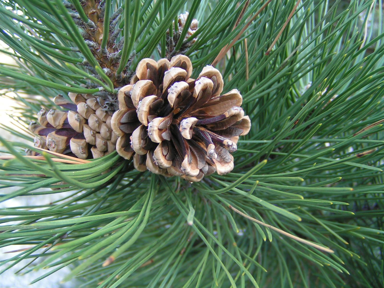 Pine Cone Photos 1248148 Freeimages Com