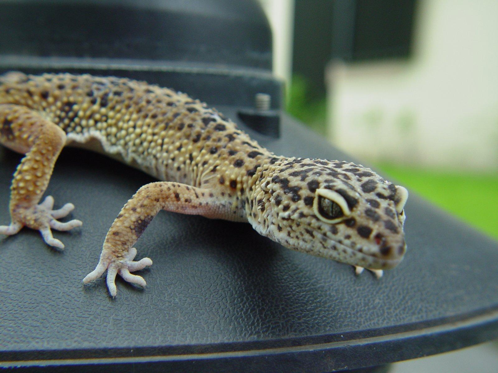 Cryptosporidium symptoms in leopard geckos food