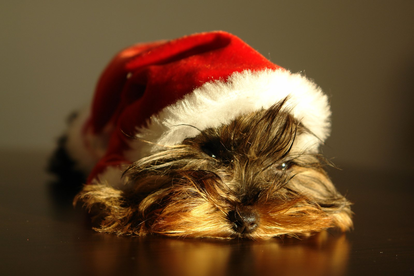Yorkshire Puppy with Santa Claus Hat