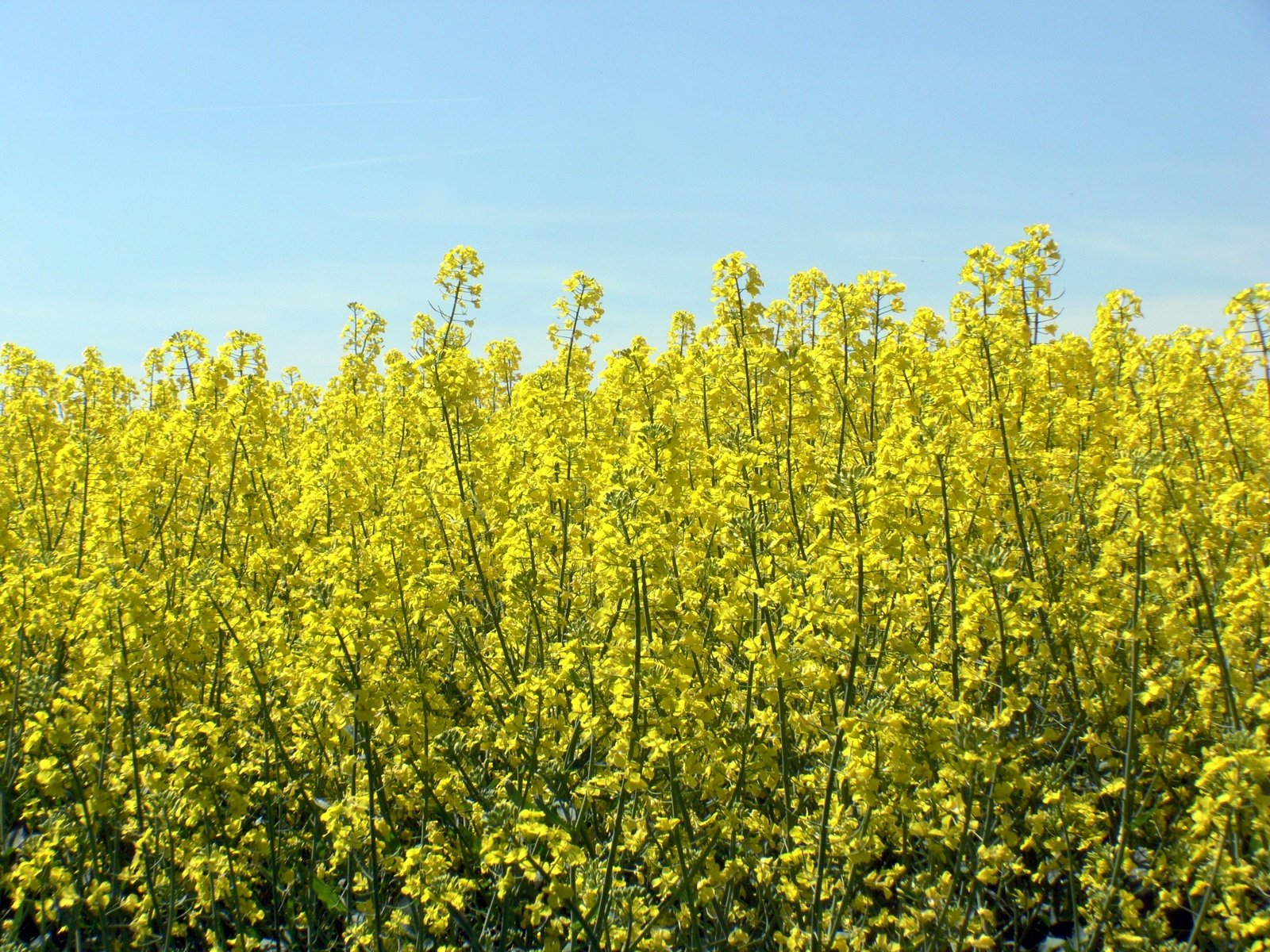 free canola fields 8 stock photo freeimages com