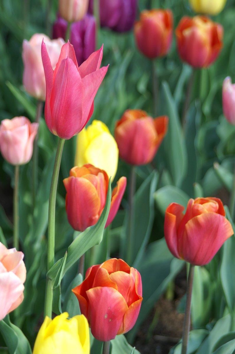 Free tulip dream 2 Stock Photo - FreeImages.com