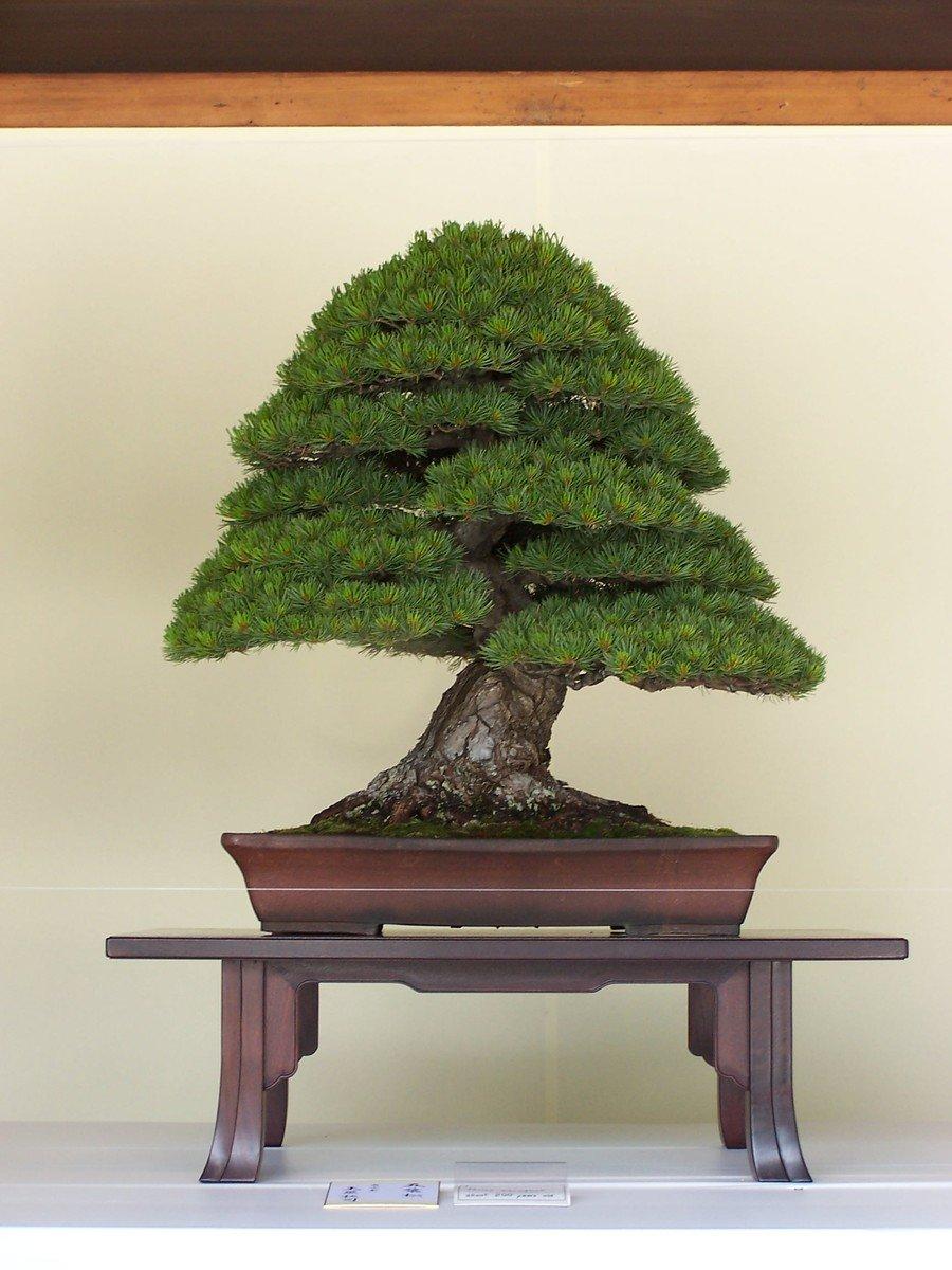 Free Bonsai Trees 2 Stock Photo Freeimages Com