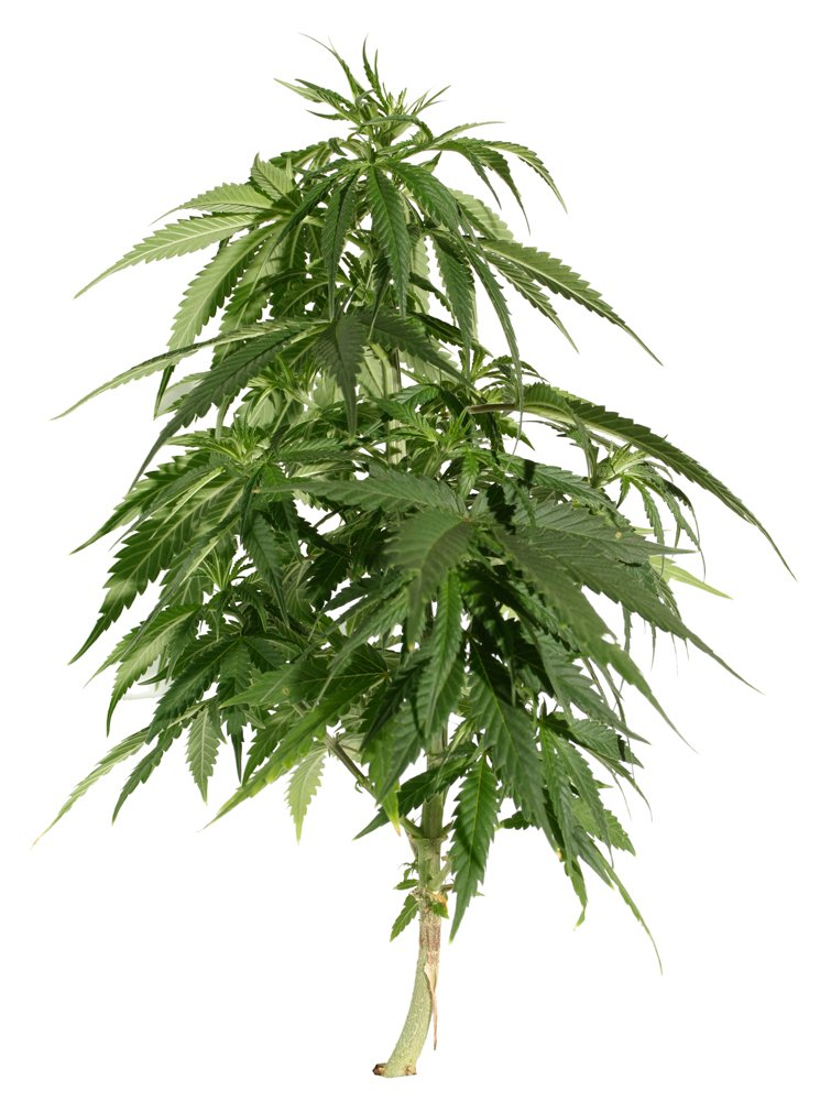 Natural Plant Food For Weed