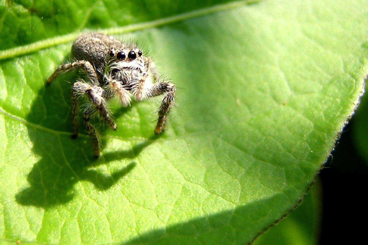 Free Spider S