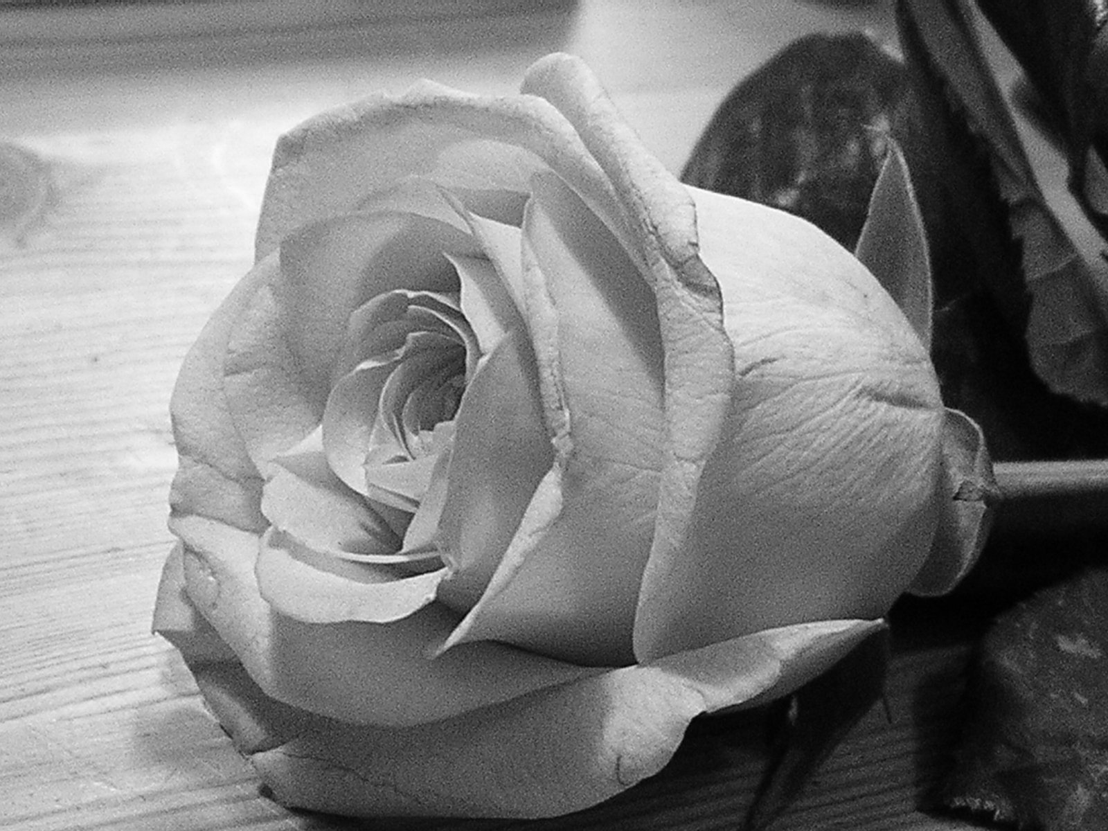 Free Grayscale Rose Stock Photo