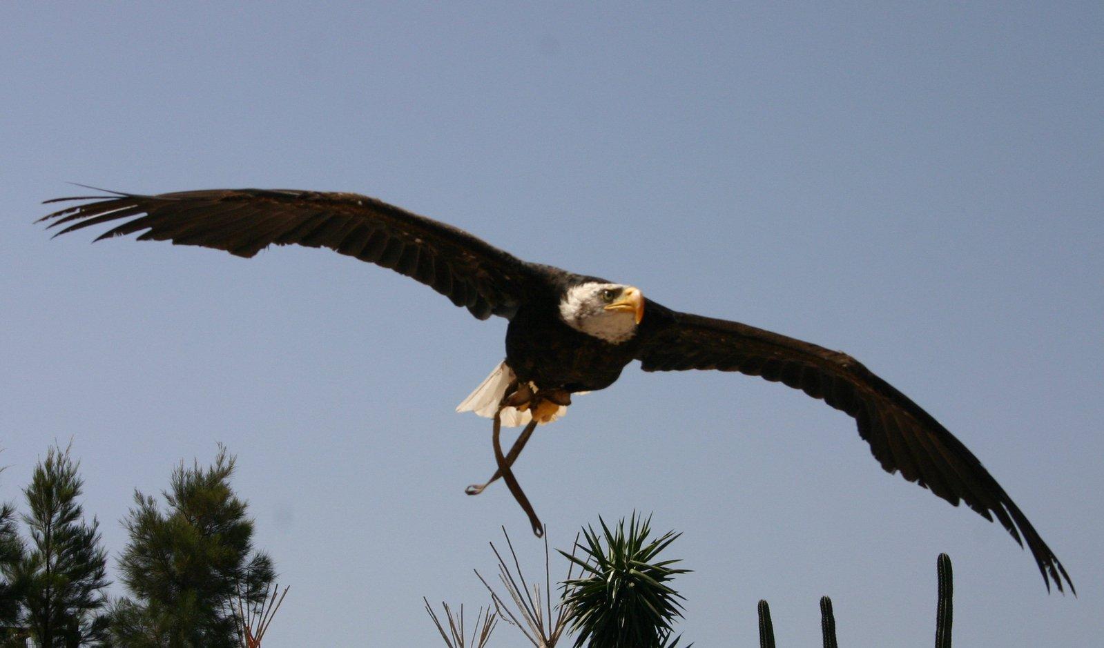 Black eagle flying