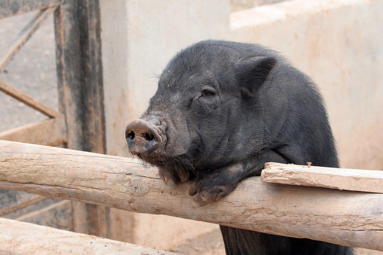 仔猪 动物 也没有 黑色 猪 哺乳动物 户外活动的 没有人 性质 可爱