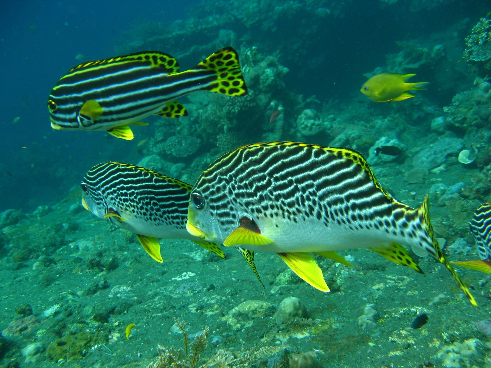 Free oriental sweetlips fish stock photo for Sweet lips fish