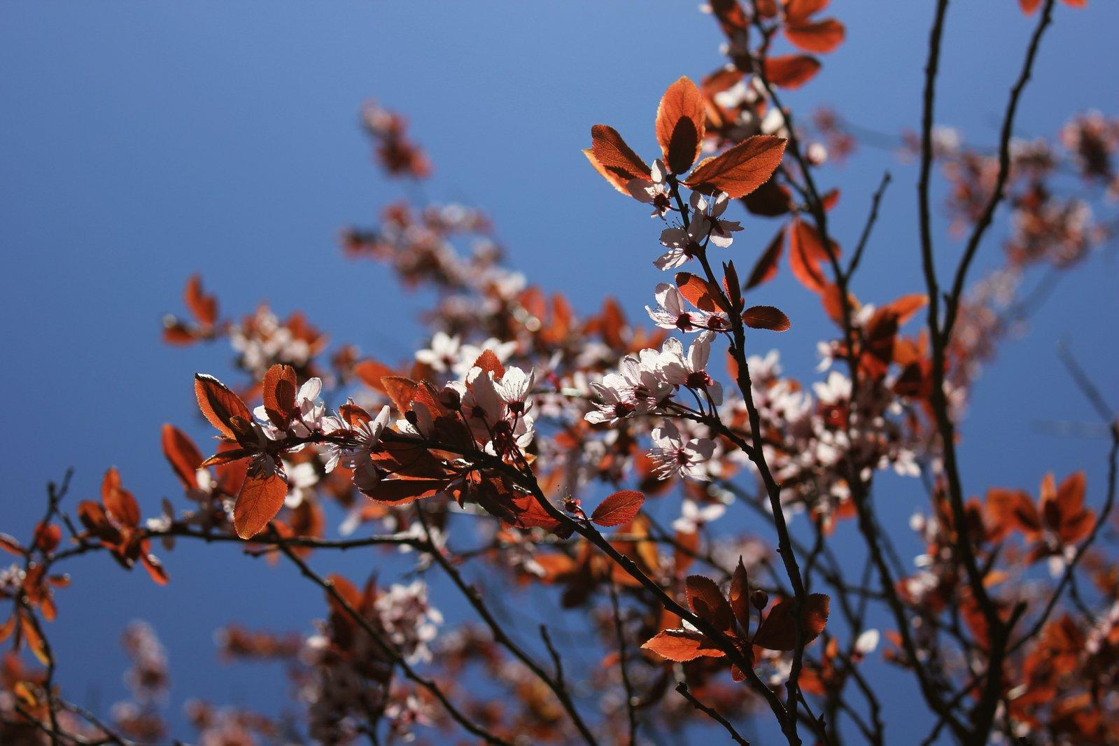 Arbol De Cerezo Japones free Árbol de cerezo japonés stock photo - freeimages