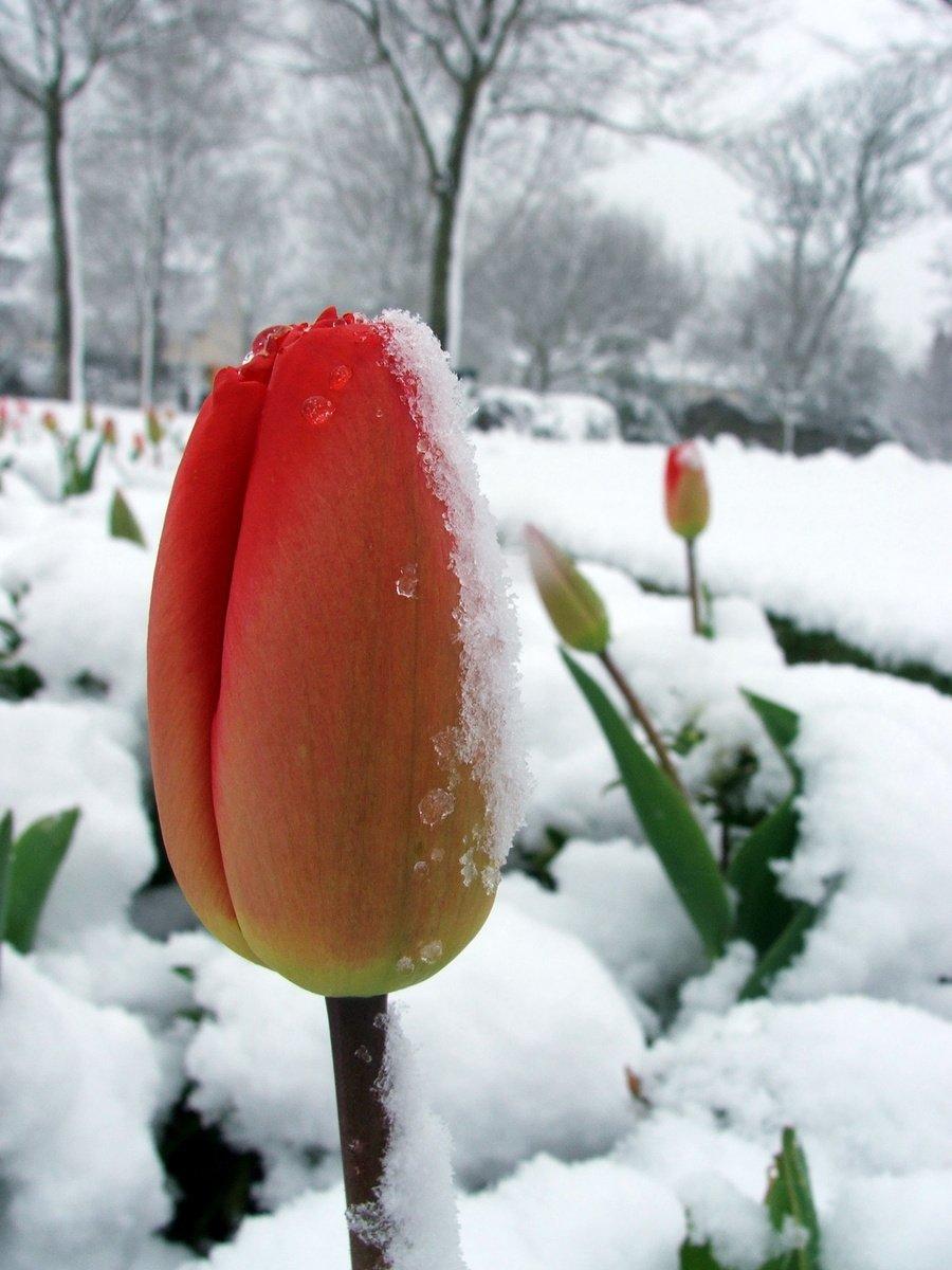 Тюльпаны зимой картинки