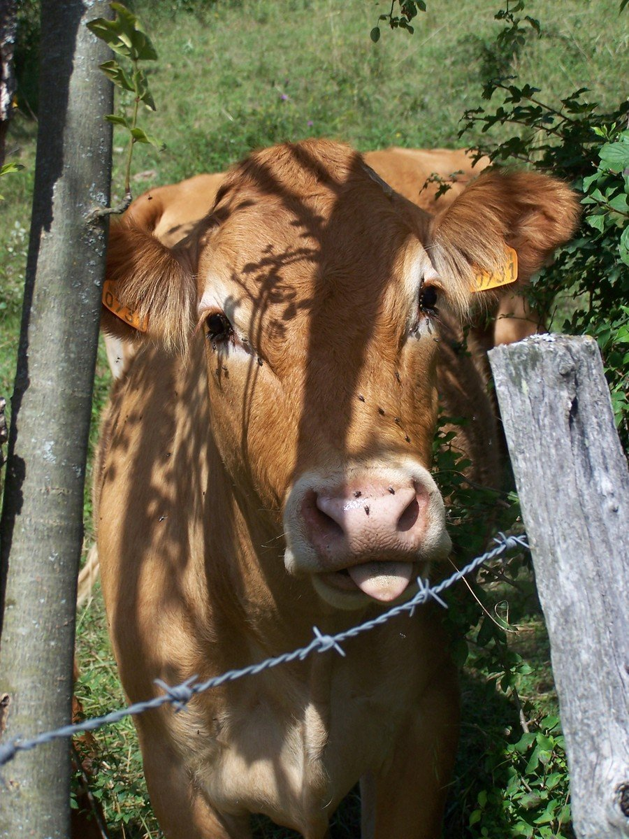 Free Alpin Cows 3 Stock Photo Freeimages Com