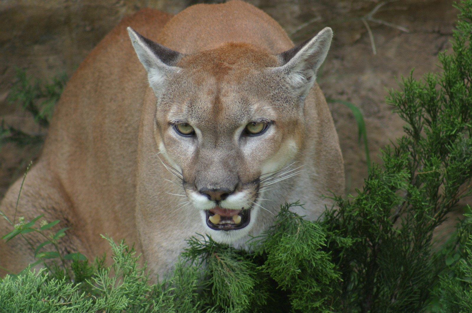 Free Puma Stock Photo Freeimages Com
