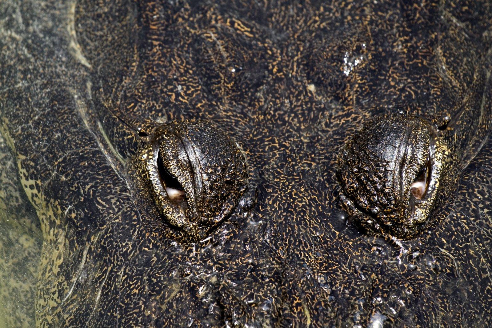 Crocodile eye close up