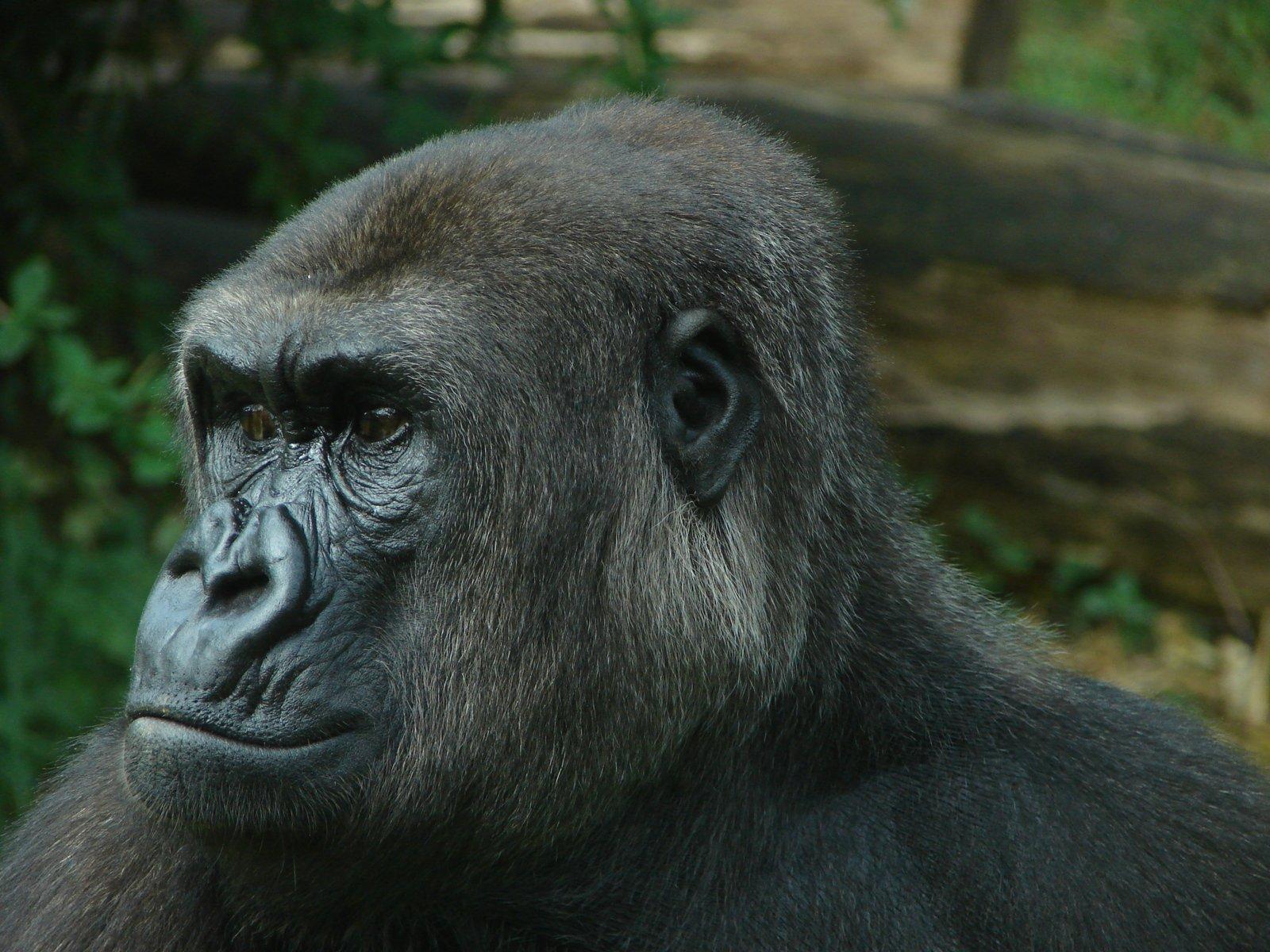 Free Gorilla Head Stock Photo - FreeImages.com