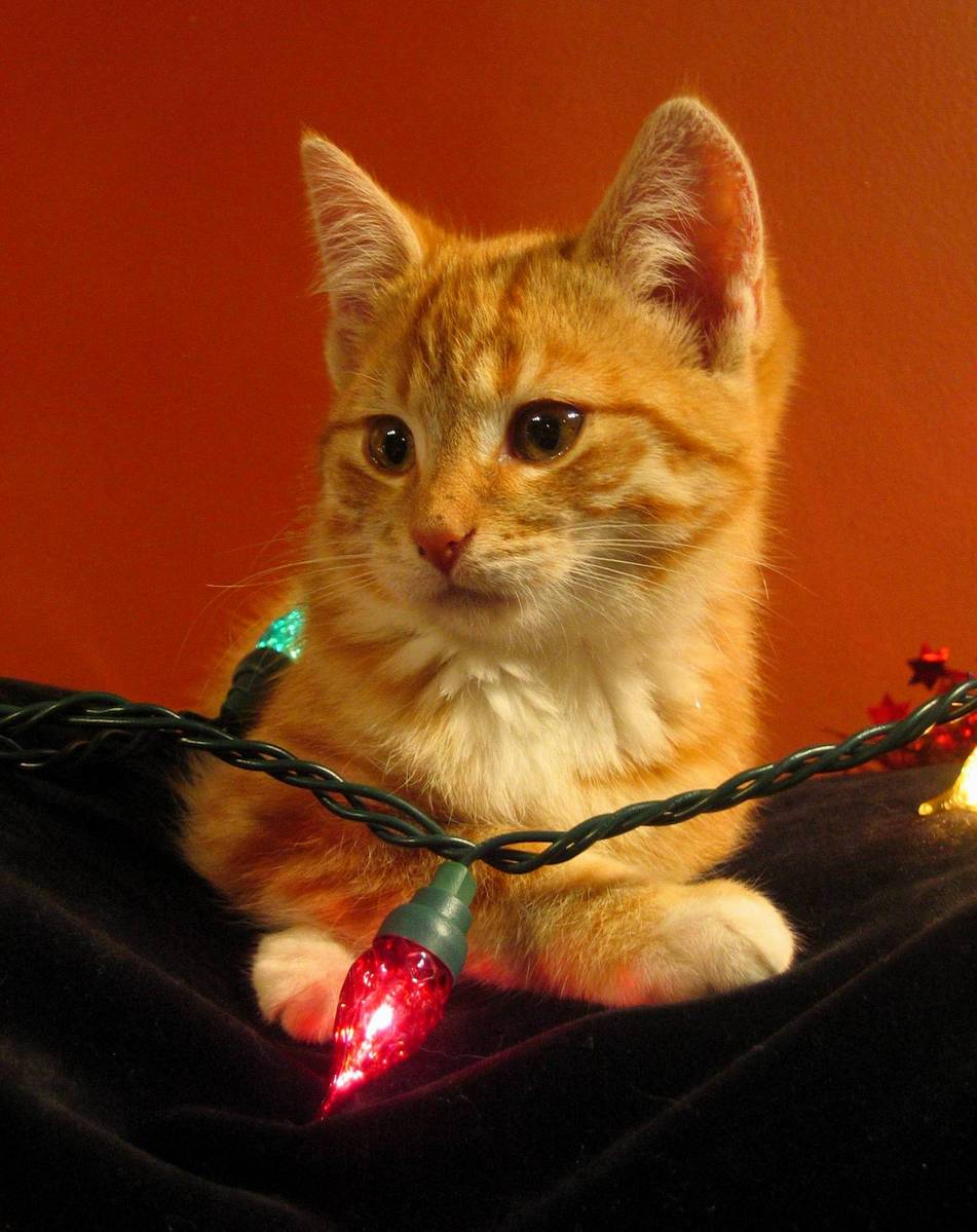 Free Christmas kitten Stock Photo - FreeImages.com