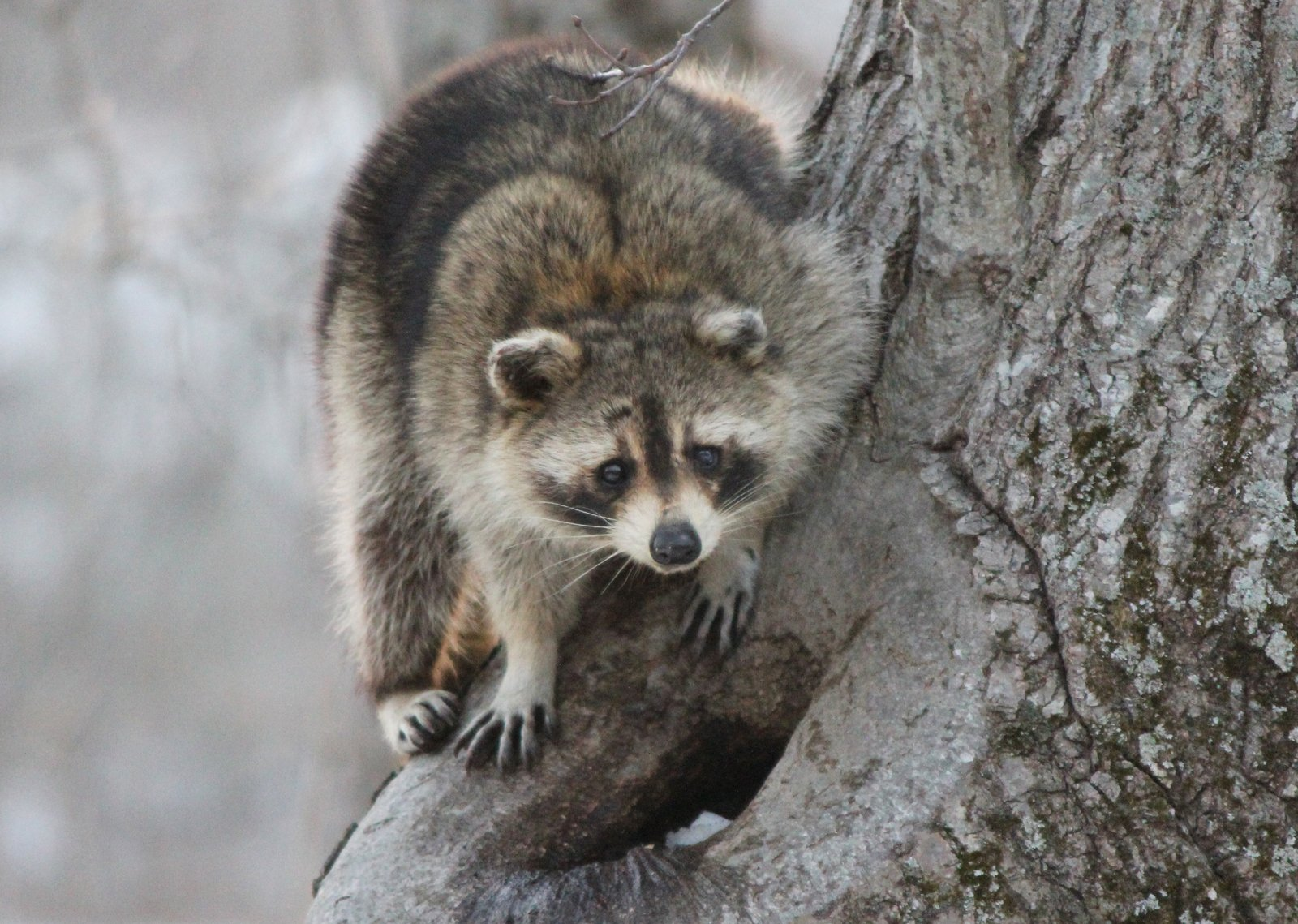 Free Raccoon in the Tree Stock Photo - FreeImages.com