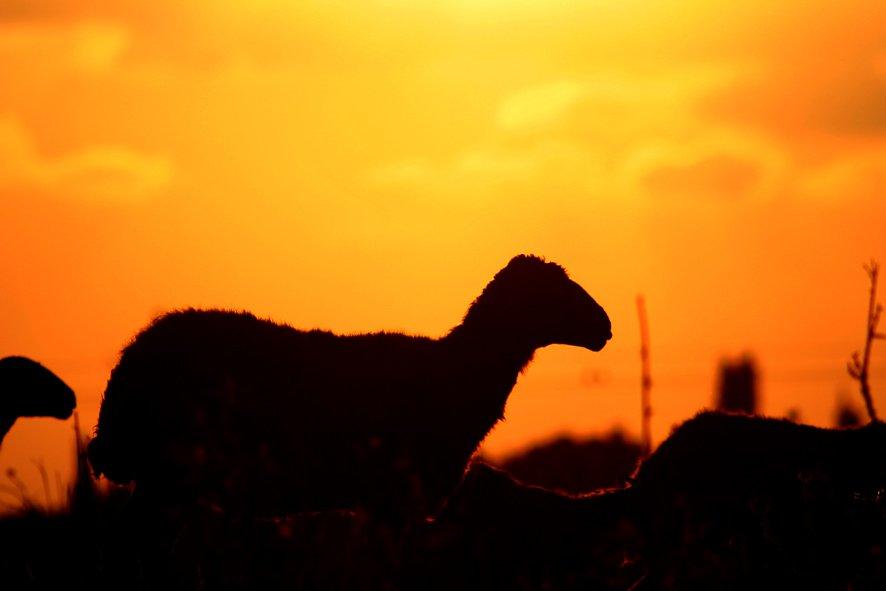 ovejas en la puesta del sol