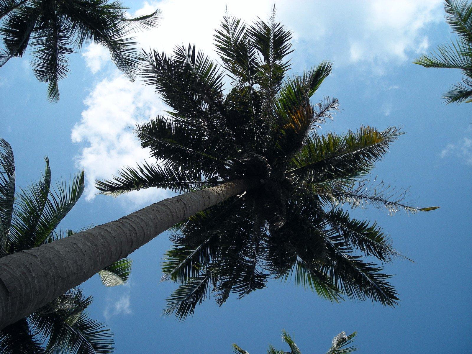 Arbres de noix de coco photo 1380339 - Arbre noix de coco ...