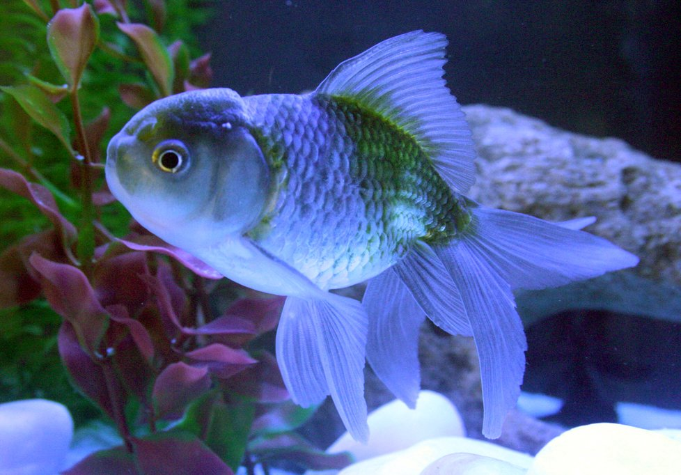 Free Goldfish Oranda 1 Stock Photo - FreeImages com