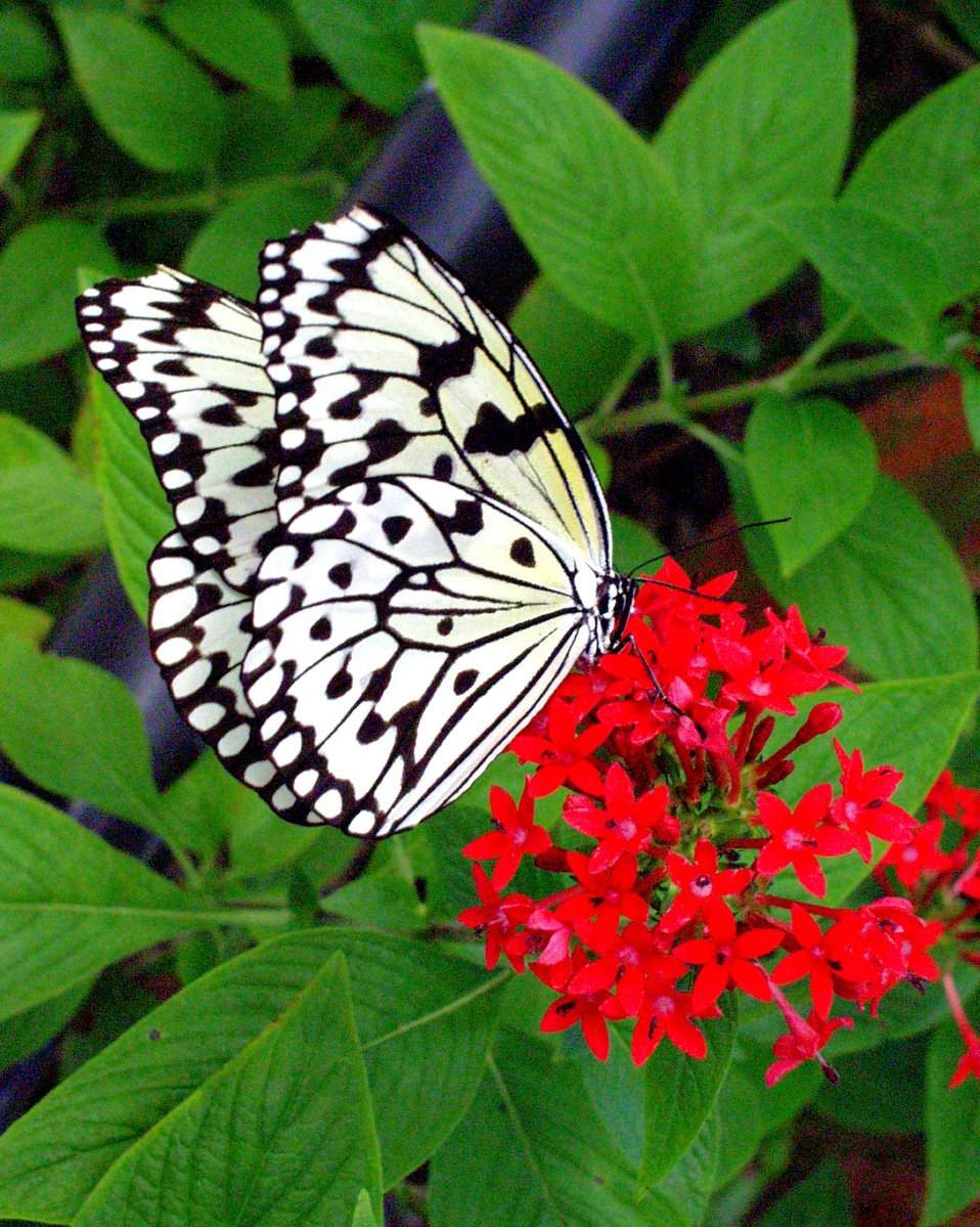 Free Black And White Butterfly Stock Photo Freeimages Com