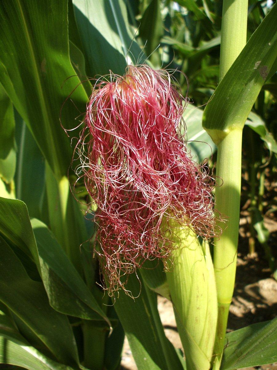 Free Corn Silk 1 Stock Photo Freeimages Com