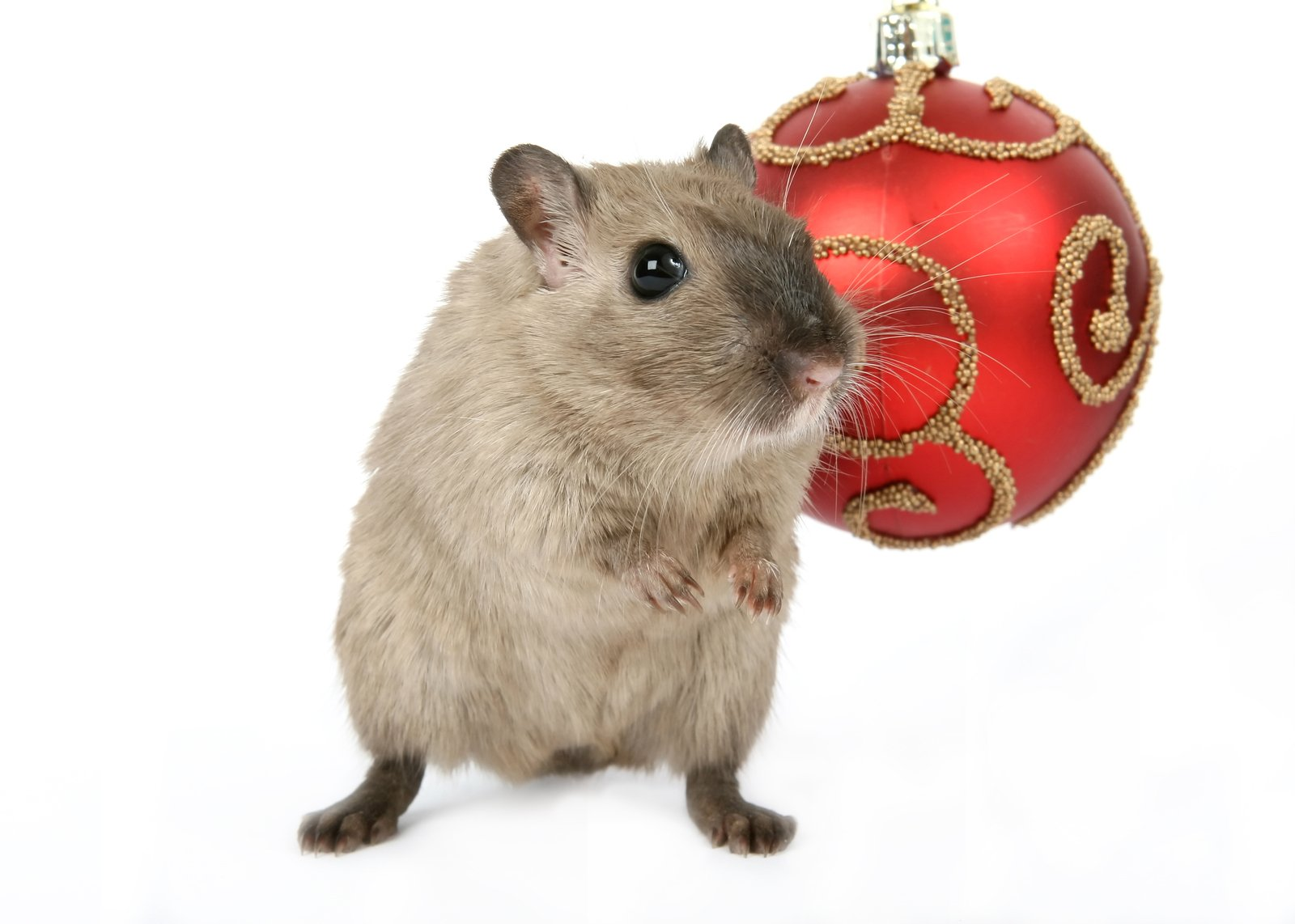 Free Cute Rodent By Christmas Decorations On Snow White
