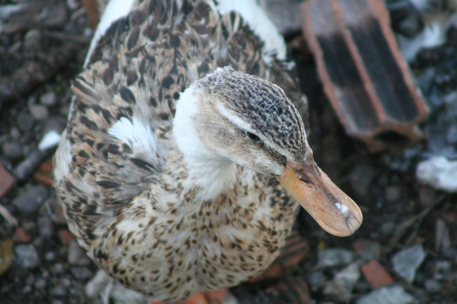 Quack Of Human Nature