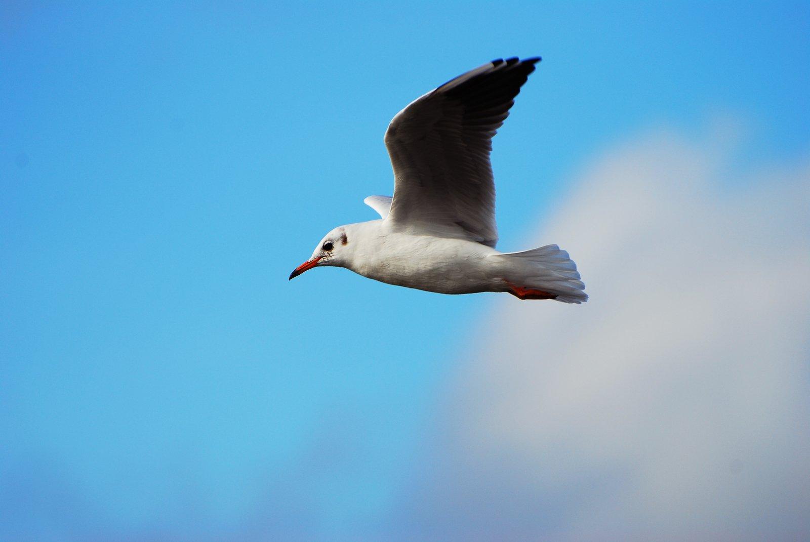 Stock Photo Uma gaivota voando grátis - FreeImages.com