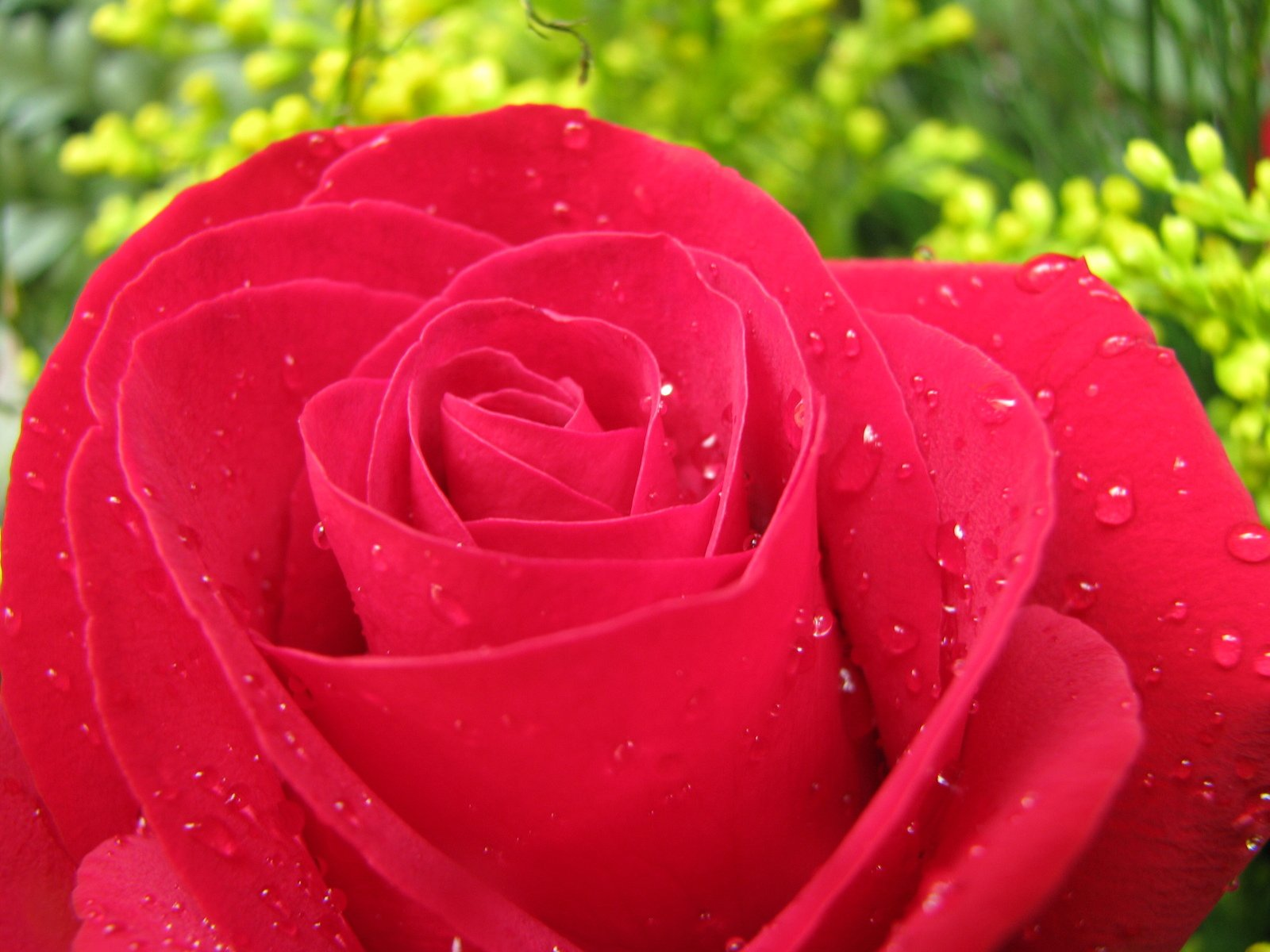 Single Red Rose Flower Stock Images: Free Single Red Rose Stock Photo